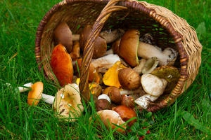 ripe of mushrooms in willow basket on green grass